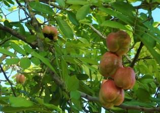 Nationalfrucht Jamaika