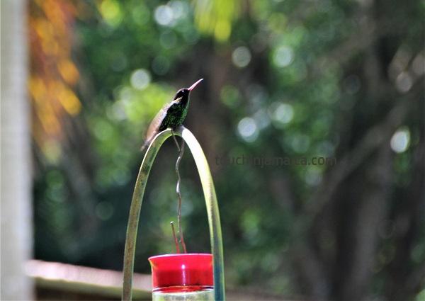 Jamaikanischer Kolibri