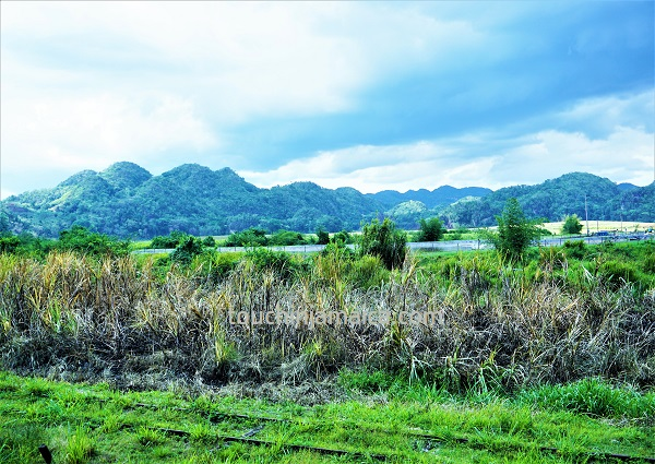 Zuckerrohrfelder vor dem Cockpit Country - Ausblick vom AUssichtsturm des APpleton Estate