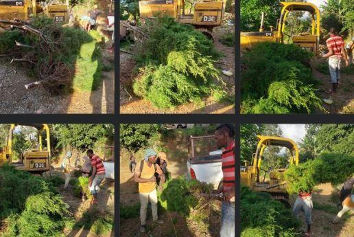 Tannenbäume werden in Jamaika in den Blue Mountains gezüchtet