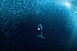 Kosatka prenikajúca zospodu do veľkej guľovej formácie