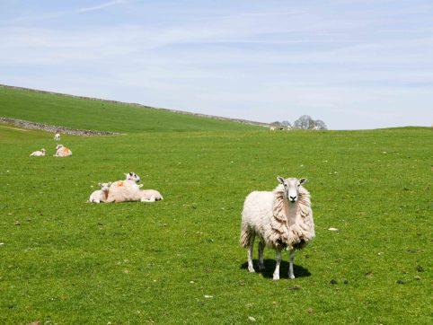 Mouton dans le peak district