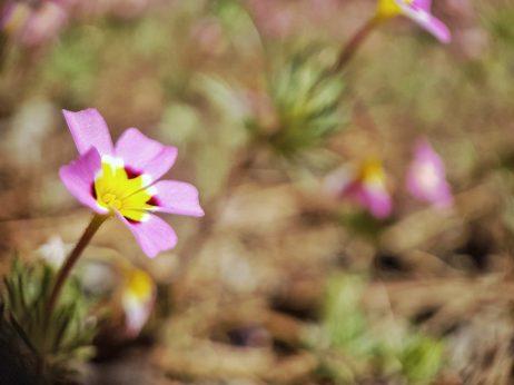 fleurs sequoia