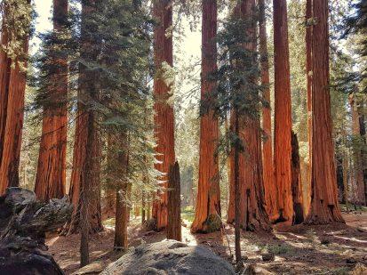 foret de sequoias
