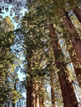 voyage à sequoia