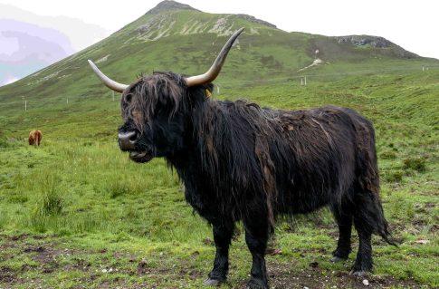 Vache des Highlands