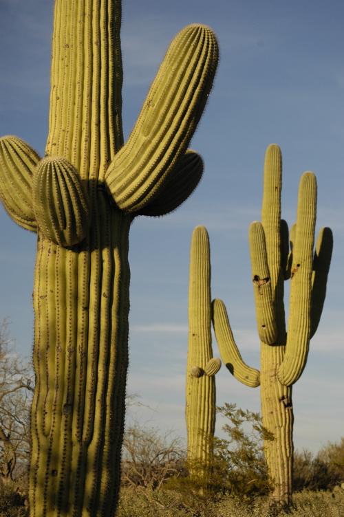 Saguaro Cacti in Tucson