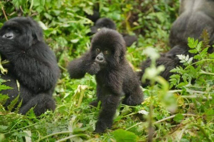 Gorilla-Babies-in-Rwanda-700x465