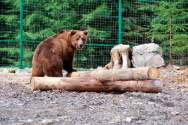 Реабілітаційний центр для бурих ведмедів Синевир