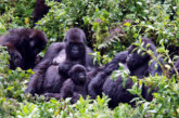 Eastern Lowland Gorilla Tour Bwindi 7days Book a Discounted mountain gorillas