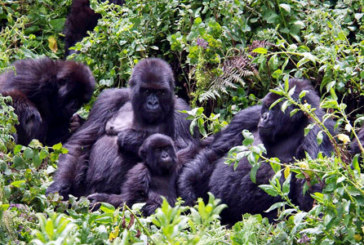 Eastern Lowland Gorilla Tour and Bwindi Gorilla 7days