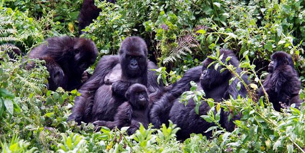 Eastern Lowland Gorilla Tour and Bwindi Gorilla 7days