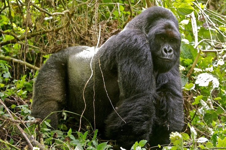 Mountain Gorilla Tours to Virunga National Park DRC-Congo 1 Day
