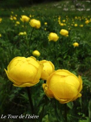 Fleur des Trolle