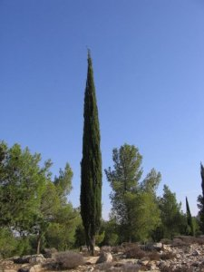 Mediterranean cypress