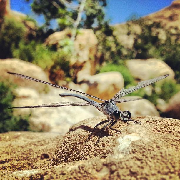 Dragonfly at the Nahal Prat