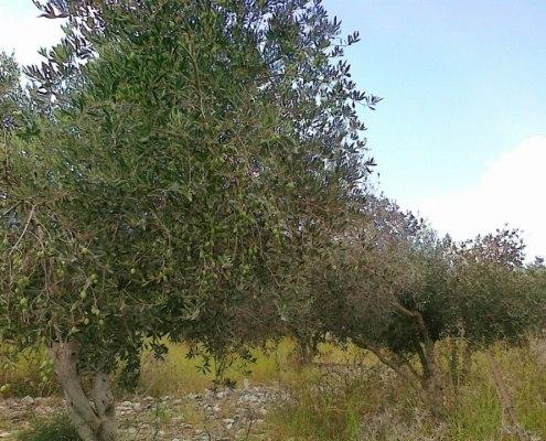 Olive Tree Galilee Israel