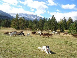blidinje-dog-cattle