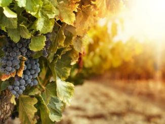 wine-grapes-herzgeovina-tradition