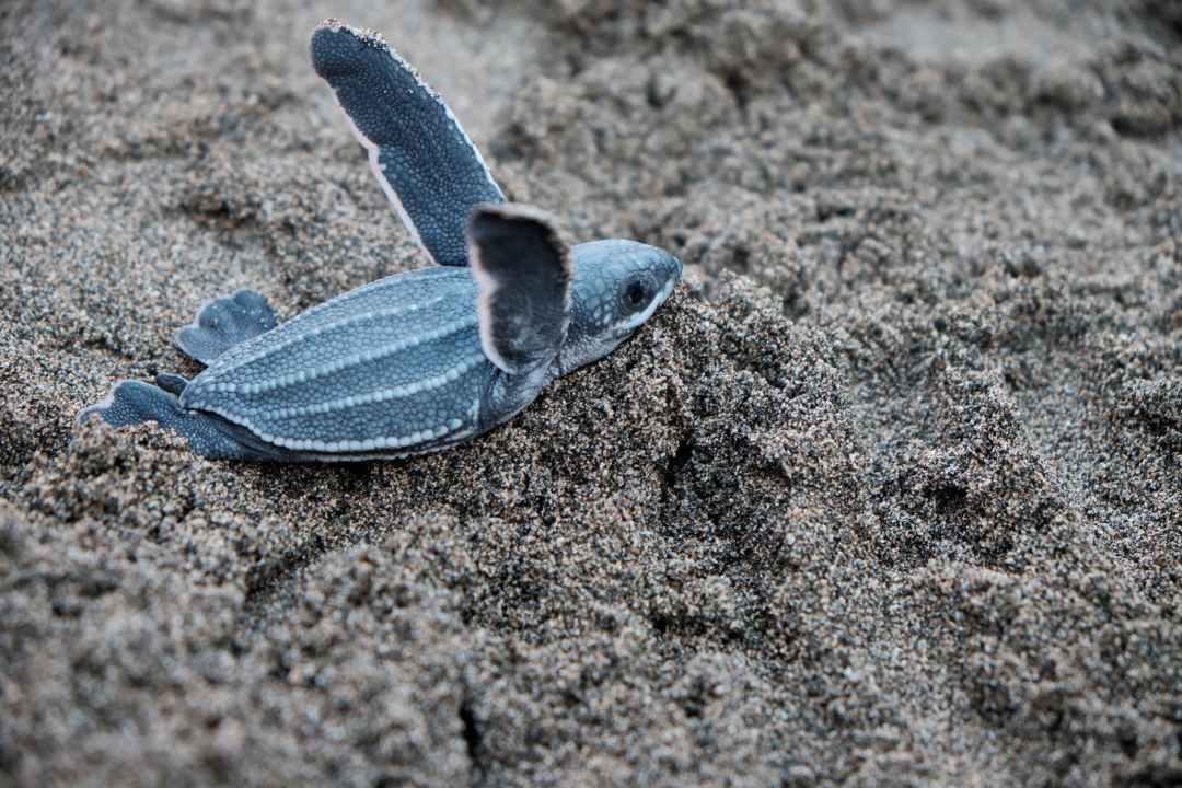 a blue sea turtle