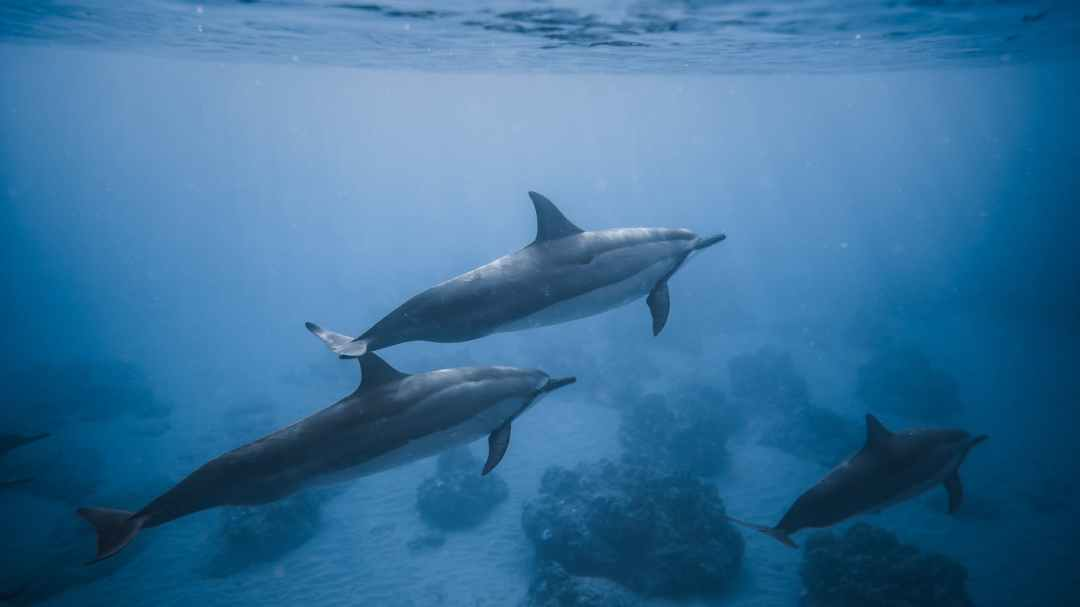 swimming dolphins near coral reef