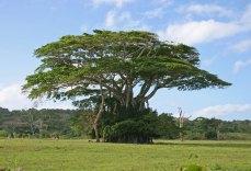 v-boab-tree