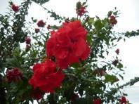 Flores de Algería