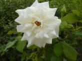 Rosa blanca de Alegría