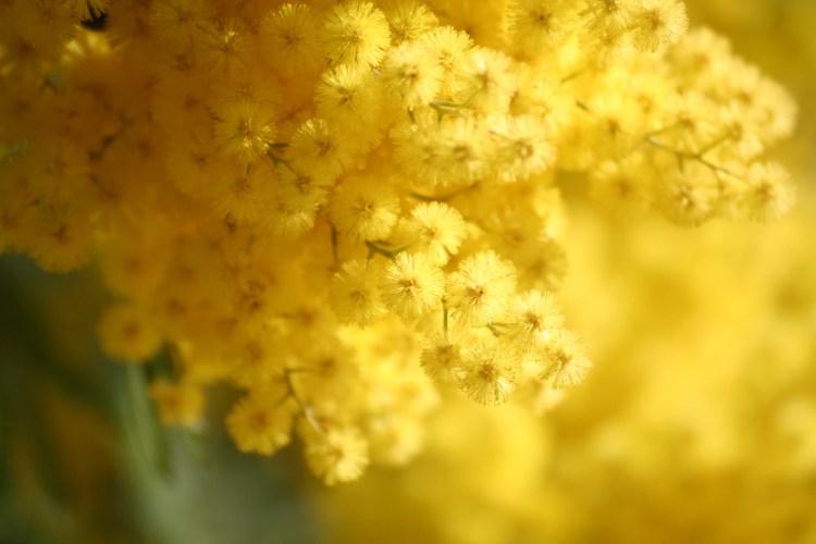 le-mimosa