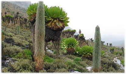 Mount Kenya Vegetation