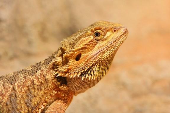 Lizard of Malka