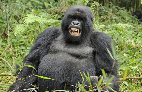 Jolly Gorilla. source: twendeexpenditions.com