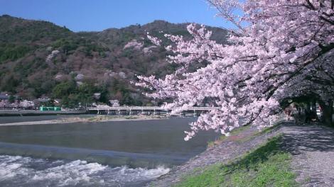 togetsukyo-arashiyama-sakura