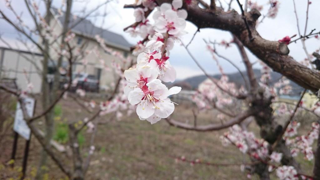 sakura di kawaguchiko fuji