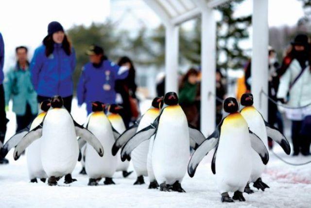 asahikawa penguin parade