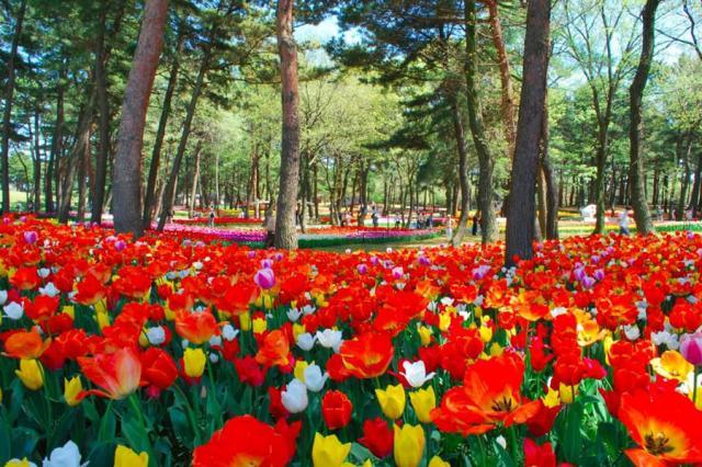 Tulip Hitachi Seaside Park Jepang