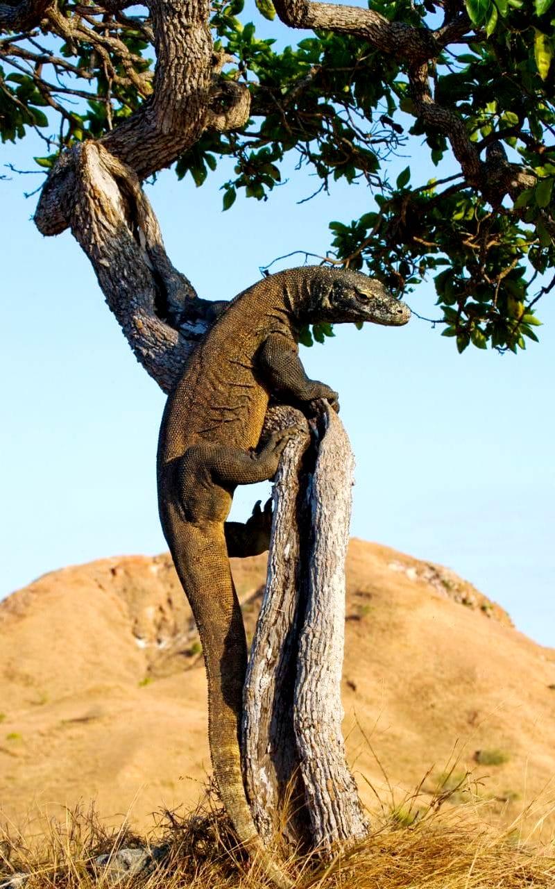 варан, залезший на дерево