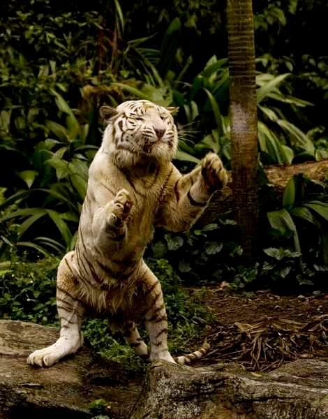 тигр в парке лоренц
