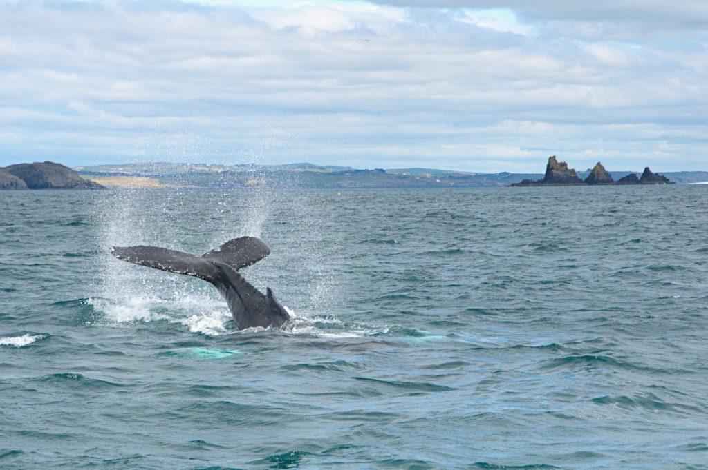 Humpback whale lob-tailing off Ireland's Wild South Coast