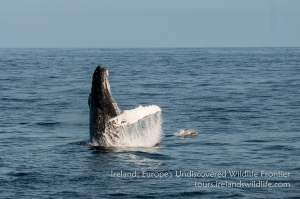 Humpback whale breaching on a tour off Ireland's West Cork coast