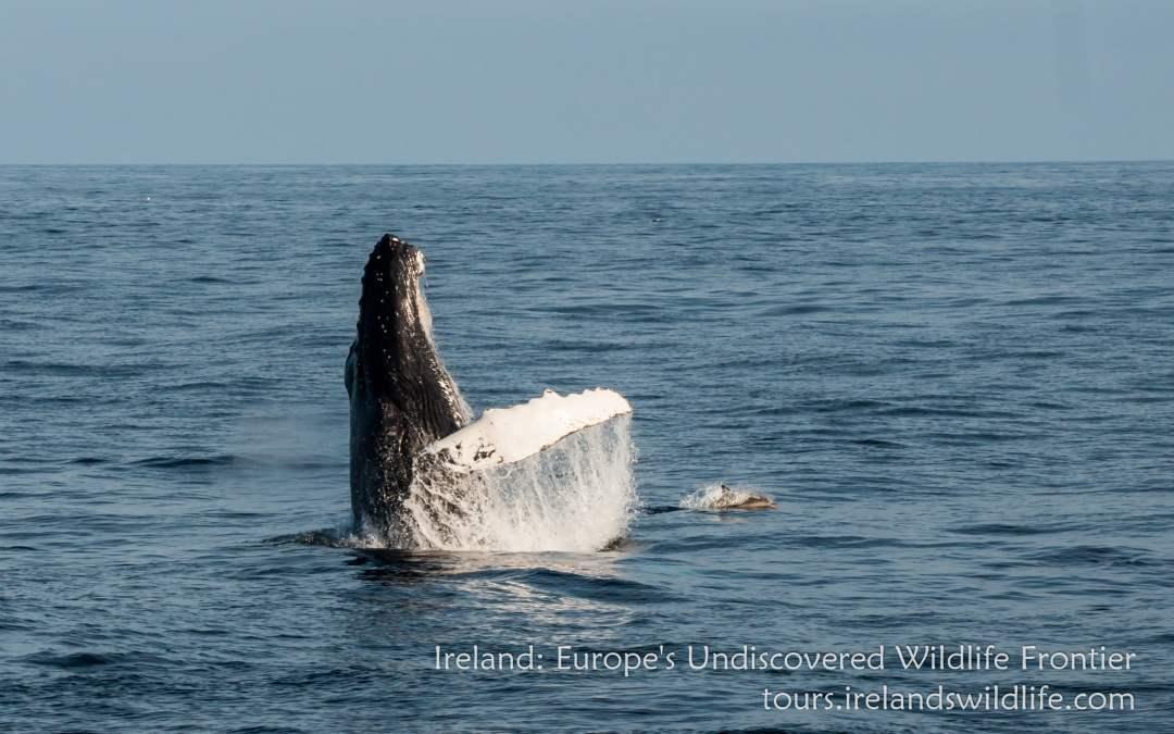 PRESS RELEASE Ireland: Europe's Undiscovered Wildlife Frontier