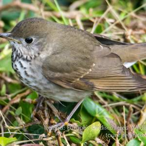 Grey-cheeked thrush, Galley Head, West Cork