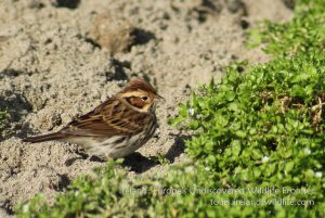 Little Buntings are becoming increasingly regular migrants on the Irish south coast in autumn