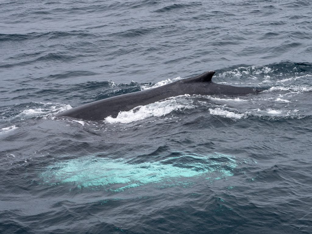 Humpbacks, minke whales and basking sharks off Ireland's Wild South Coast