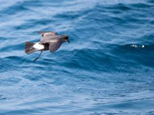 European storm petrel: Ireland's Wildlife Tours