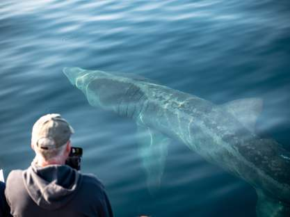 When you see them up close Basking Sharks really are impressive beasts.