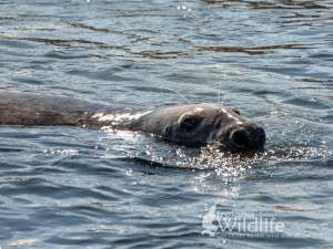 A large bull Grey Seal