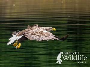White Tailed Eagle, Ireland