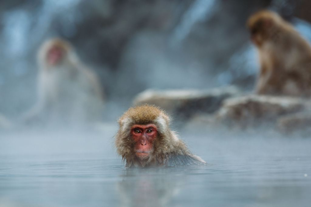Snow Monkeys, Jigokudani Park, Japan