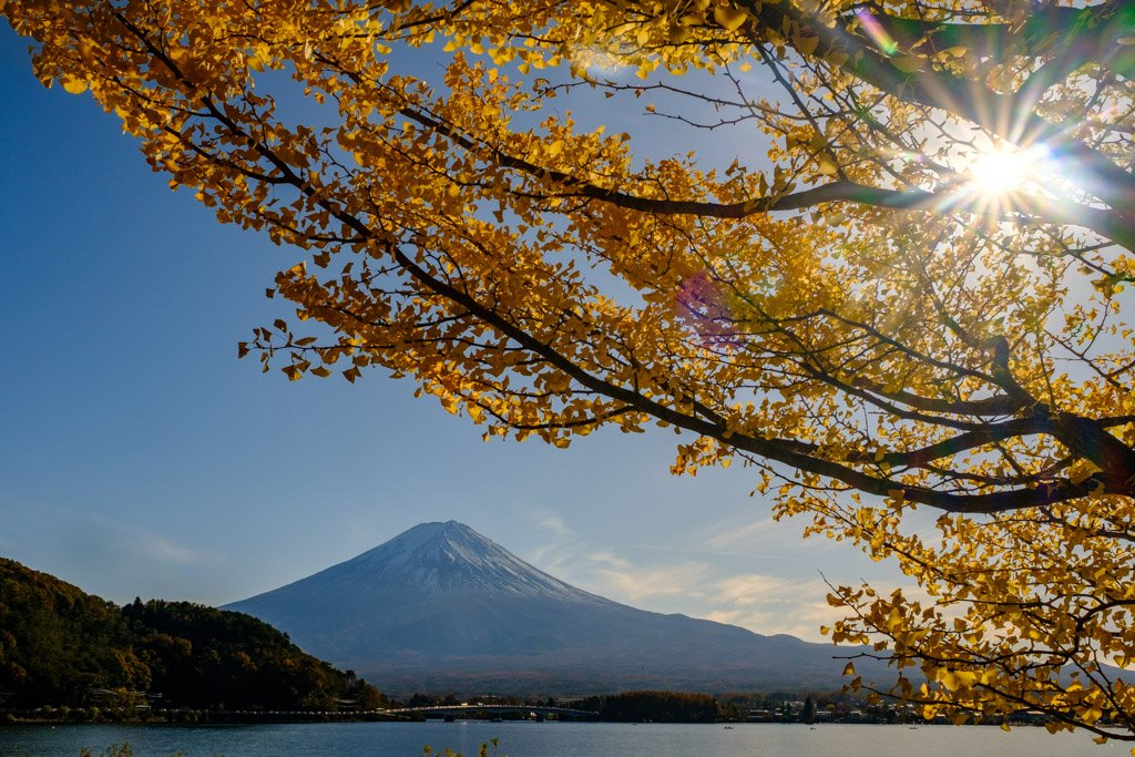 Mount Fuji and yellow Gingko tree